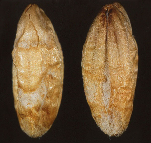 Identifying wheat and barley seed affected by fusarium head
