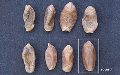 picture of shrivelled and distorted sawfly damaged kernels compared to a sound kernel of Canadian Western Red Spring wheat.