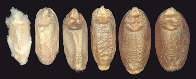 Kernels infected at progressively later stages of development. Details below.