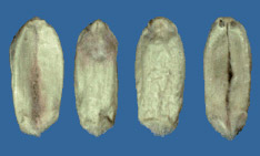 Wheat kernels affected by fusarium head blight